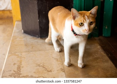 Thai domestic yellow and white cat stand and walking on floor at door entrance of classic building