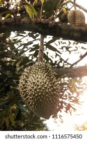 Thai durian fruits on durian tree in the orchard. Regarded by many people in southeast asia as the king of fruits.