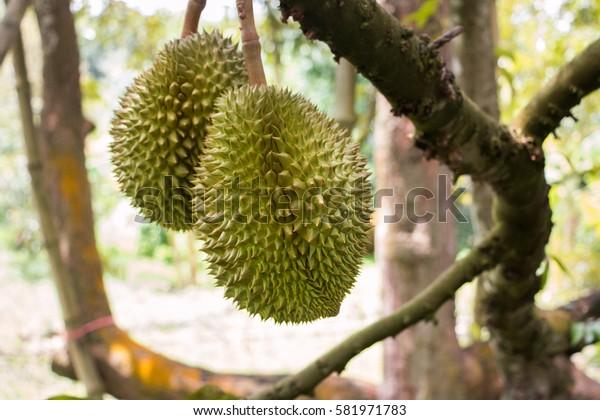 Thai durians on the tree