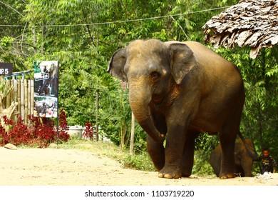 thai elepant camp near chiang mai