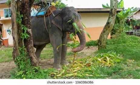 Thai elephant eating