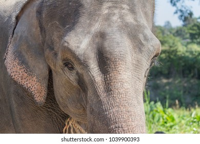 Thai Elephant face
