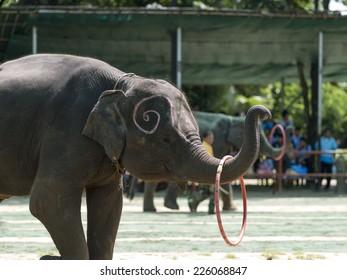 Thai Elephant swing the hoolahoop  : SURIN,THAILAND