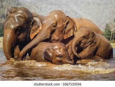 Thai elephants enjoin take shower and playing in the  jungle
