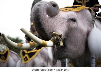 Thai elephants in Phra Nakhon Si Ayutthaya Province