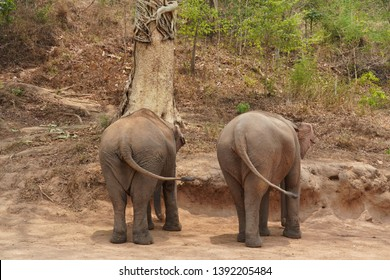 Thai elephants are wagging their tails.