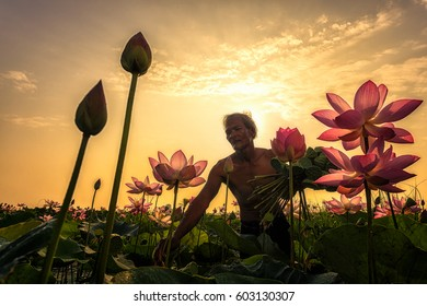 Thai Farmer grow Lotus in the season. They were soaked with water and mud to be prepared for harvest to sell.