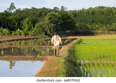 Thai farmer growing rice