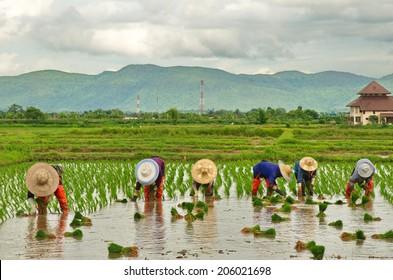 Thai farmer growing rice on the paddy rice farmland.