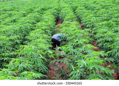 Thai farmer in plaid shirt weeding in cassava plantation.