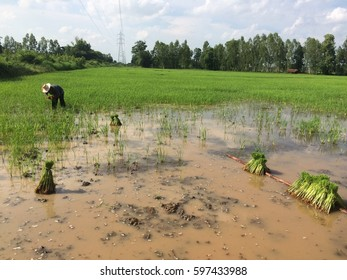 Thai farmer is planting paddy fields