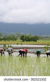 Thai farmer in rice field of agricultural region