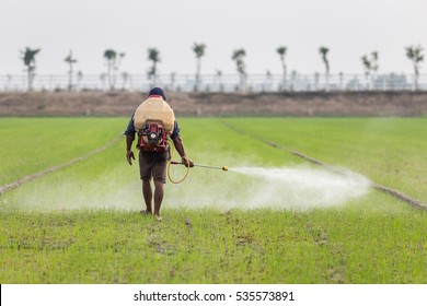 Thai farmer spraying chemical to green young rice field