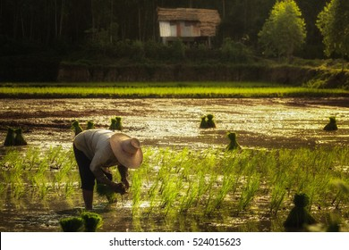 thai farmer transplant rice seedlings