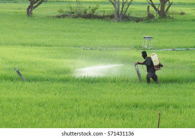 Thai farmer using pesticide in the rice paddy field