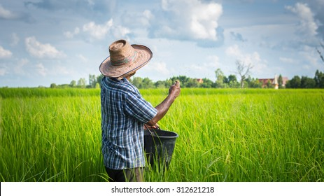 thai farmer working on rice field applying fertilizer