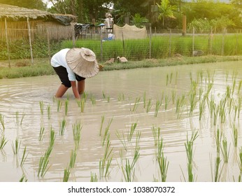 Thai farmer is working at the rice field.