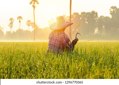 Thai farmers are checking rice plants. Collecting rice trees as an example in research to improve productivity. By using sickle harvesting, Rice is the main food of people.