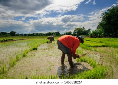 Thai farmers are flicking and kicking rice seedlings and tying them together for planting