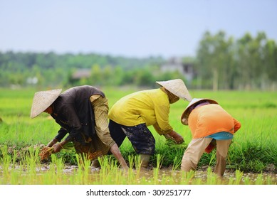 Thai farmers working plant rice in Thailand