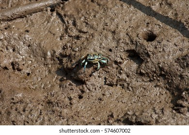 Thai Fiddler crab on the mud in mangrove forest