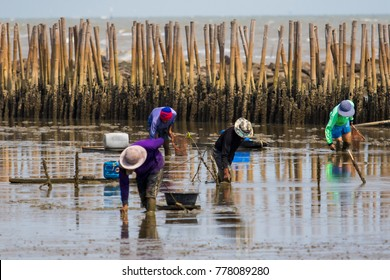 thai fishery villager in samuthsakorn seeking coastal oyster in mud flat of mangrove forest in samuth sakorn central of thailand