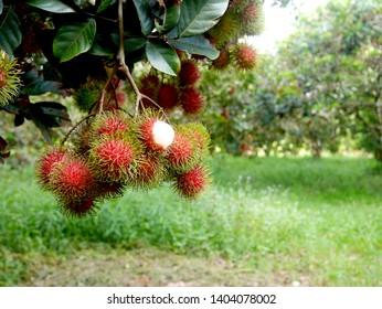 Thai fruit, fresh rambutan from the garden