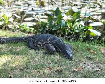 Thai giant water monitor lizard or Thai water monitor - Varanus salvator also common water monitor, large varanid lizard native to  Southeast Asia (kabaragoya, two-banded monitor lizard)