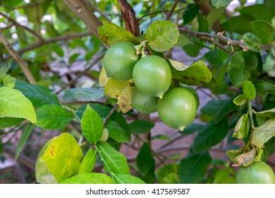 Thai green lemon on tree