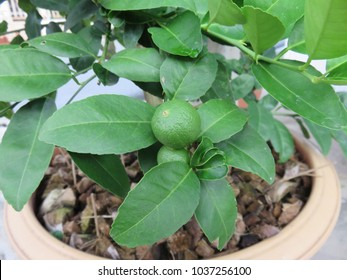 Thai green lemon plantation in a flowerpot, Persian limes are juicy and acidic with a true lime taste