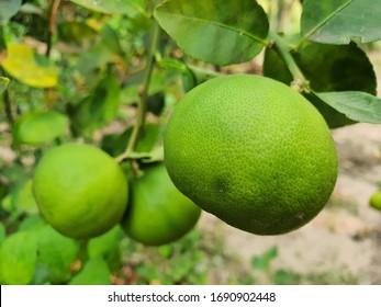 Thai green lemons on tree