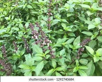 Thai herb basil trees are flowering.
