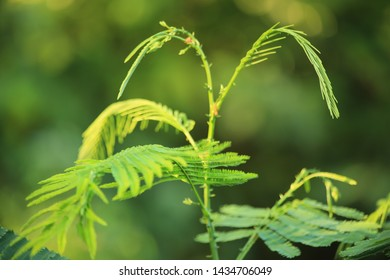 Thai herb .Climbing wattle (Senegalia pennata) or Acacia pennata aromatic plants on green leaves background, Cha-om for cooking thai food. High resolution image gallery.