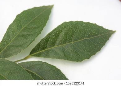 Thai  herb , The plant of Clausena wallichii Oliv. var. guillauminii (Tanaka) J.P.Molino
