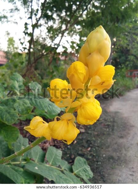 Thai Herb yellow flower