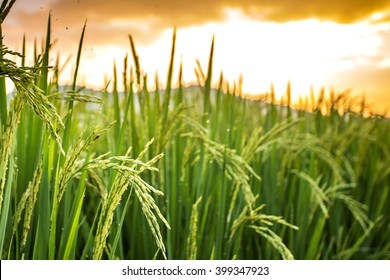 Thai jasmine rice paddy fields in Phrao, Chiang Mai, Thailand.