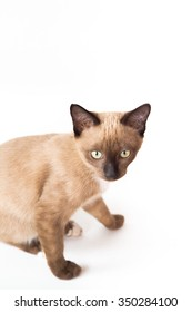 Thai kitten (brown cat), isolate on white background.