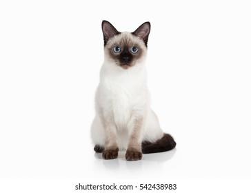 Thai kitten on white background