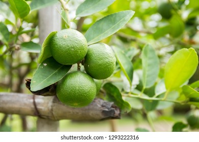 Thai Lemon on the tree.