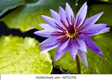 Thai lotus , at lotus museum , Bangkok , Thailand