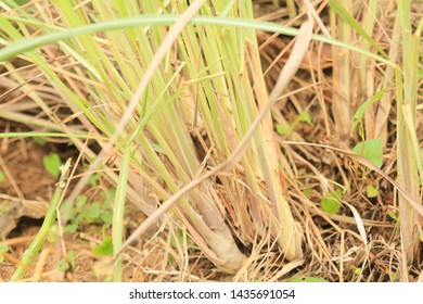 Thai medicinal plants. Herb  Lemongrass, Cymbopogon citratus