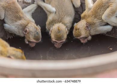 Thai monkey Drinking water