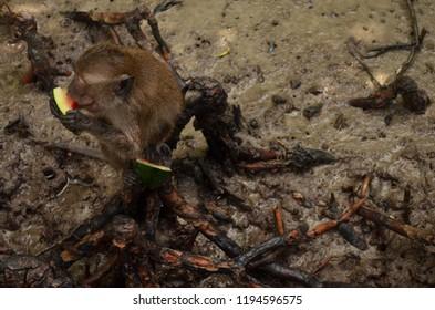 Thai Monkey Eating Watermelon