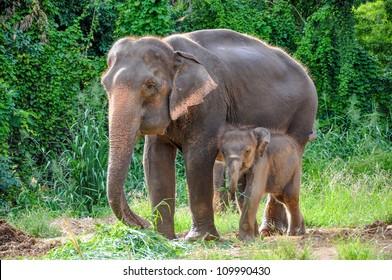 Thai mother elephant and calf eating vegetation in the At the Elephant Village Kanchanaburi, Thailand.