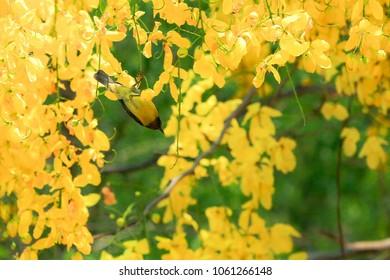 Thai national flower Golden shower tree,Purging cassia