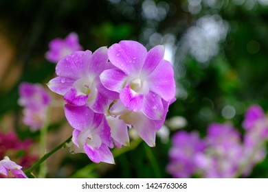 Thai orchid purple Is popular with gardeners And used to decorate vases on the table