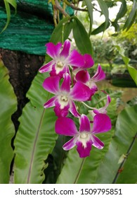 Thai Orchid, queen of flower, are one of the most beautiful flower in Thailand. Orchid has many type, color and form however these purple and white Orchid are the most popular one in Thailand.