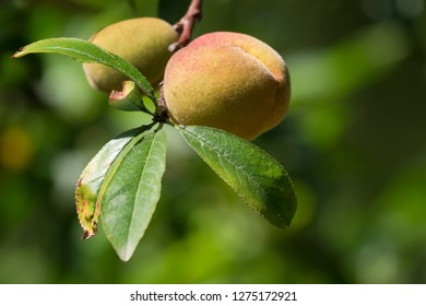 Thai Peach, fruit in yellow pink growing in highland areas of Northern Thailand by hill tribes with blurred background
