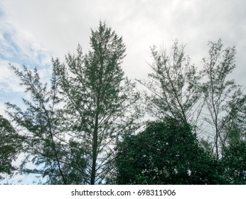 Thai pine forest with a bright sky