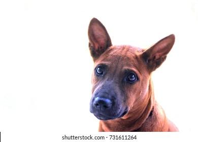 thai ridgeback dog, the native breed dog in Thailand